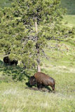 Large Plains Bison Bull Rubbing Against a Tree Stock Images