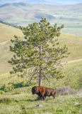 Large Plains Bison Bull Rubbing his Shoulder against a Pine Tree Royalty Free Stock Image