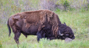 Large Plains Bull Bison Rubbing his Face on a Rock Stock Image