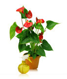 A large plant anthurium and yellow sprayer Stock Photos
