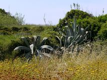 Large plant in corfu Stock Photos