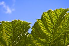 Large plant green leaf and sky Stock Images