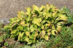 Large Plantain lily or Hosta foliage plant with partially dried shriveled ribbed leaves planted next to concrete sidewalk
