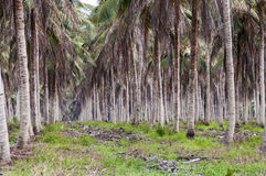 Large plantation of coconut Royalty Free Stock Images
