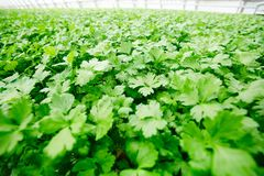 Parsley leaves. Large plantation of green leaves of parsley grown on agricultural farm Royalty Free Stock Photo