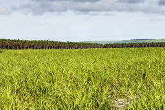 Large plantation of sugarcane and coconut Stock Images