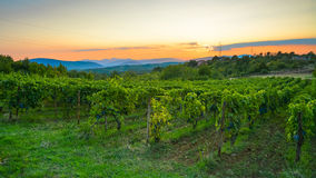 Large plantations of grapes in the mountains at sunset background Stock Photo