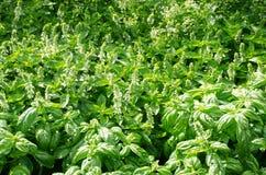 Large planting of basil being grown Royalty Free Stock Photos