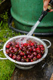 A large plate of fresh cherries. A new harvest of cherries with water drops. Photo in the garden. Stock Photo