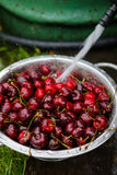 A large plate of fresh cherries. A new harvest of cherries with water drops. Photo in the garden. Royalty Free Stock Photo