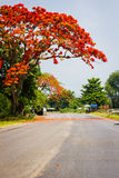 A large poinciana tree. Out in full bloom Royalty Free Stock Photography