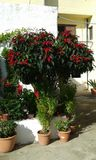 Large Poinsettia plant. Very large and tall Poinsettia plant. Fodele. Crete. Greece Royalty Free Stock Photos