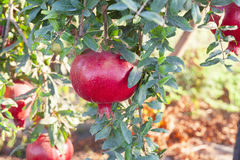 Large pomegranate on tree Royalty Free Stock Photo