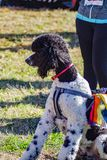 Large Poodle at the Starting Line of the Annual Roanoke Valley SPCA 5K Tail Chaser. Roanoke, VA – March 23rd: Large Poole waiting at the starting line at royalty free stock images