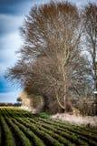 Large poplar tree Royalty Free Stock Photo