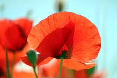 Large poppie close-up Stock Photography
