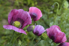 Free Large Poppy Flowers Stock Images - 95198454