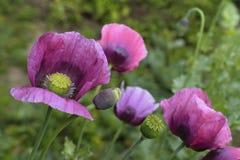 Large poppy flowers stock images