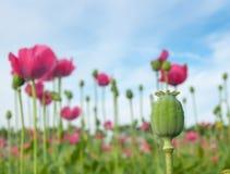 Large poppy seed pod Royalty Free Stock Image