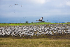A large population of white cranes royalty free stock photography