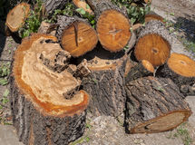 Large portions of a tree cut down. Outdoors Royalty Free Stock Image