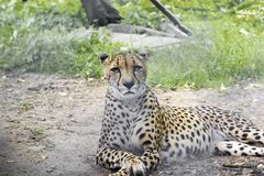 A large portrait of a cheetah, shot from a long distance, Royalty Free Stock Image