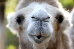 Large portrait of the face of a camel Stock Images