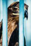 Large portrait of a hawk who sits in a cage.  Royalty Free Stock Photo