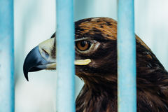 Large portrait of a hawk who sits in a cage.  Stock Photos