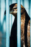 Large portrait of a hawk who sits in a cage.  Stock Photography