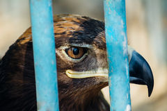 Large portrait of a hawk who sits in a cage.  Stock Images