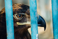Large portrait of a hawk who sits in a cage.  Stock Image