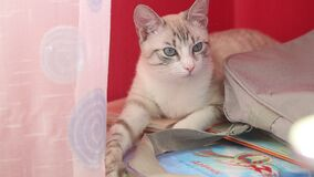Large portrait of a light cat with blue eyes on a red background. Large portrait of a light cat with blue eyes on a red background stock video footage