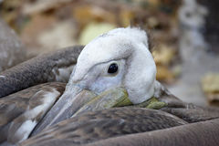 A large portrait of a resting Pelican Stock Photography