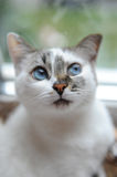 Large portrait of a white cute fluffy blue-eyed cat. Look right. Window in the background. Large portrait of white cute fluffy blue-eyed cat. Look right. Window Royalty Free Stock Photography