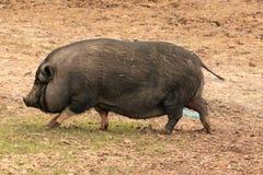 The big Pot Bellied Pig stock photos