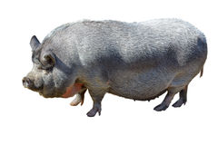 Large pot-bellied vietnamese pig. royalty free stock image