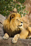 A Large Powerful Lion Rests On Tall Boulder At Sun. Large, powerful male lion sits on a tall boulder at sunset. Photographed at a local zoo Royalty Free Stock Photo