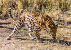 Large predator. African spotted leopard after feeding. Travel to Namibia. The concept of exotic and extreme tourism Royalty Free Stock Photos