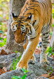 A large Predator. Royal Begal Tiger in Jim Corbett National Park Stock Images