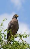 Large predatory bird sitting on a tree. Sri Lanka. Royalty Free Stock Photos