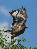 Large predatory bird at the time of takeoff. Sri Lanka. Stock Photos