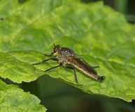 Large predatory fly on a green leaf Stock Photography