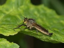 Large predatory fly on a green leaf Royalty Free Stock Image