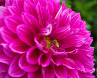 A large pretty pink dahlia and bee Stock Photo