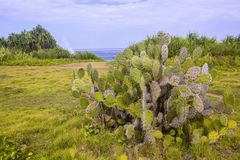 Large prickly pear cactus on the coast, Nusa Lembongan, Indonesia Royalty Free Stock Photography