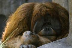 Big monkey royalty free stock photos