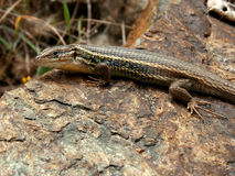 Large Psammodromus. Closeup of a wild Psammodromus algirus (Large Psammodromus, an spanish lizard Royalty Free Stock Photography
