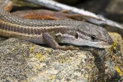 Large Psammodromus (psammodromus Algirus) Lizard Royalty Free Stock Photo