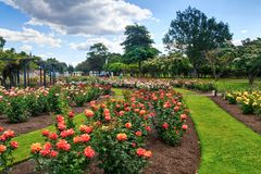 Masses of blooming roses in a park royalty free stock photo